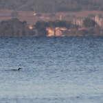 Plongeon imbrin Gavia immer à La Capte (83)