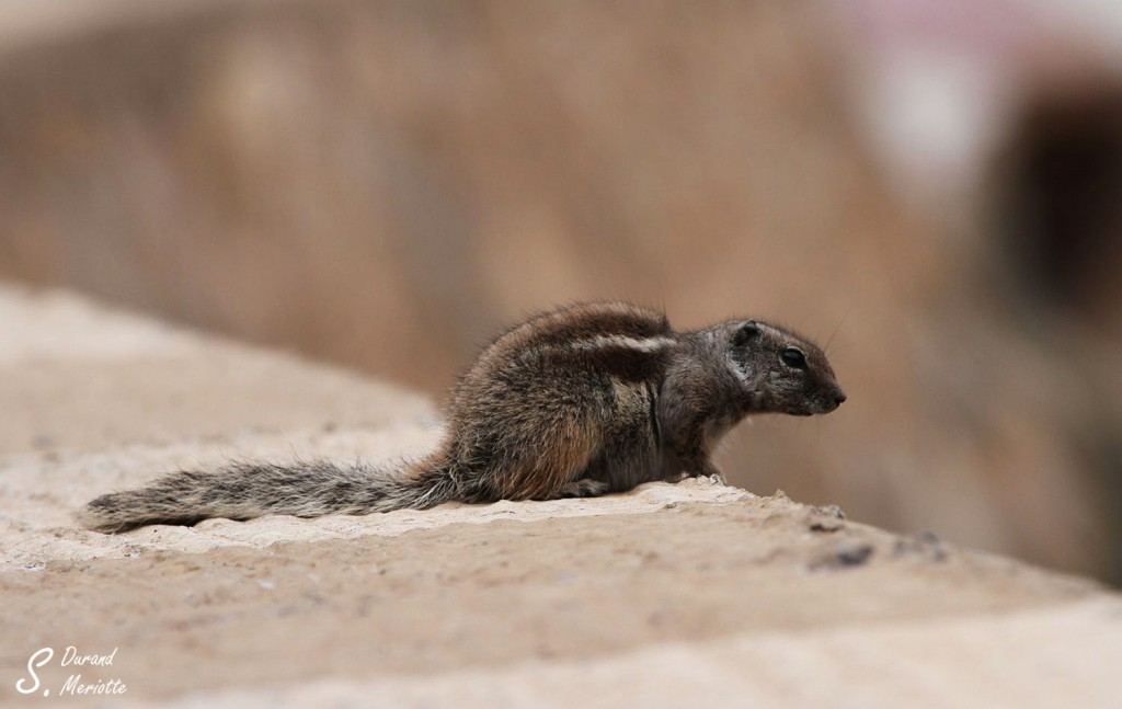 Écureuil de Berbérie (Maroc 2012)