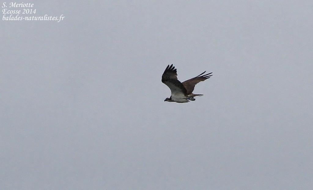 Balbuzard pêcheur - Loch Fleet - 14/07/2014
