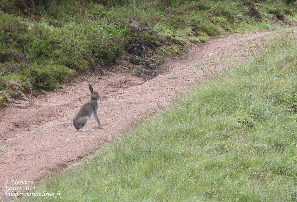 Lièvre variable - Cairngorms - Glen Muick - 14/07/2014