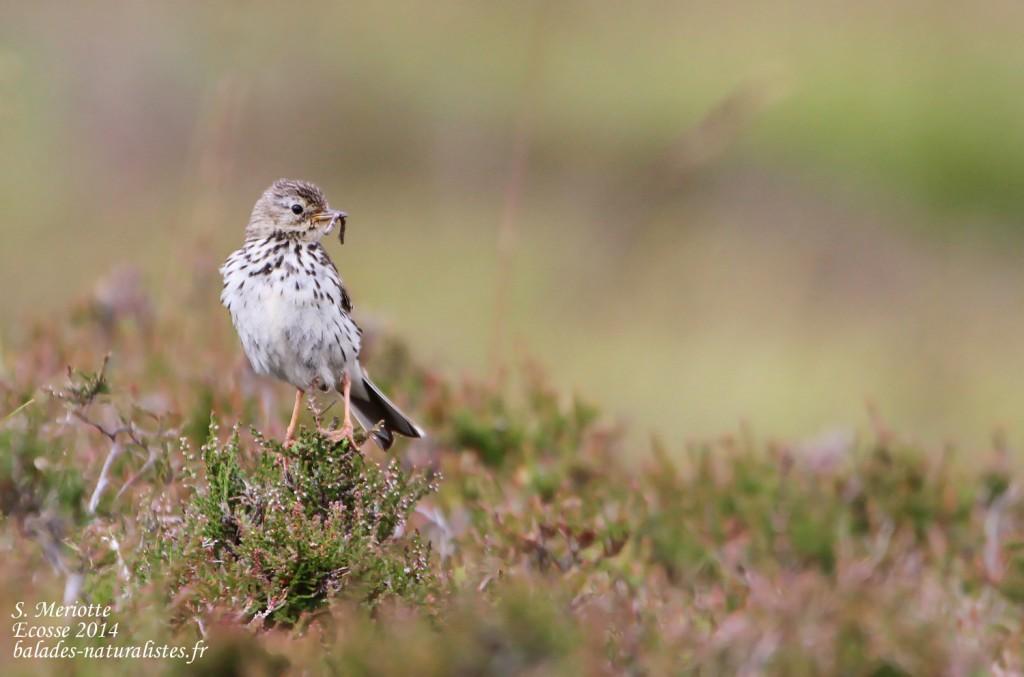 Pipit farlouse - Cairngorms - Glen Muick - 14/07/2014