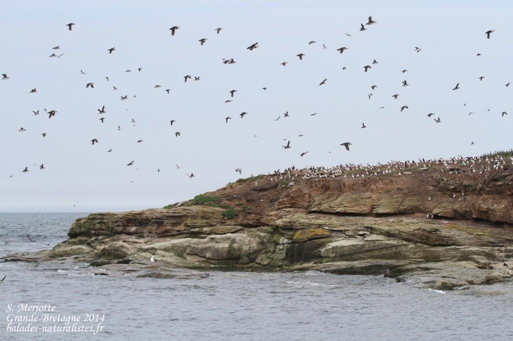 Macareux - Coquet Island - 12/07/2014