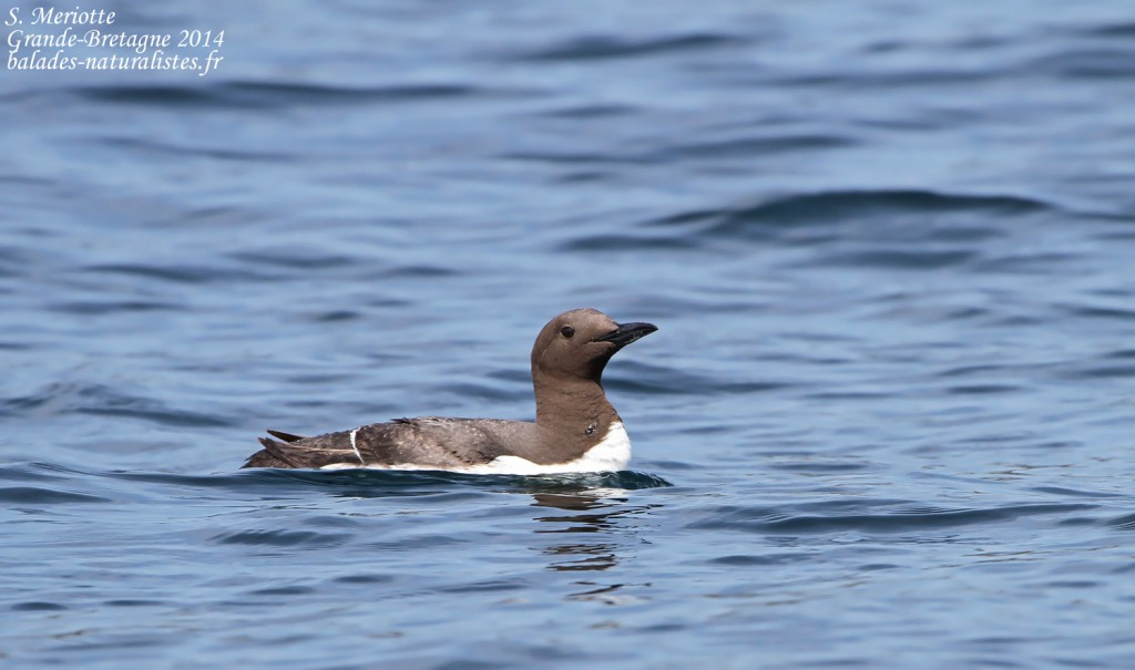 Guillemot de Troil - Farne Islands- 11/07/2014