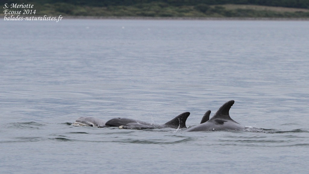 Grand dauphin - Bottlenose dolfin - Moray firth - 14/07/2014