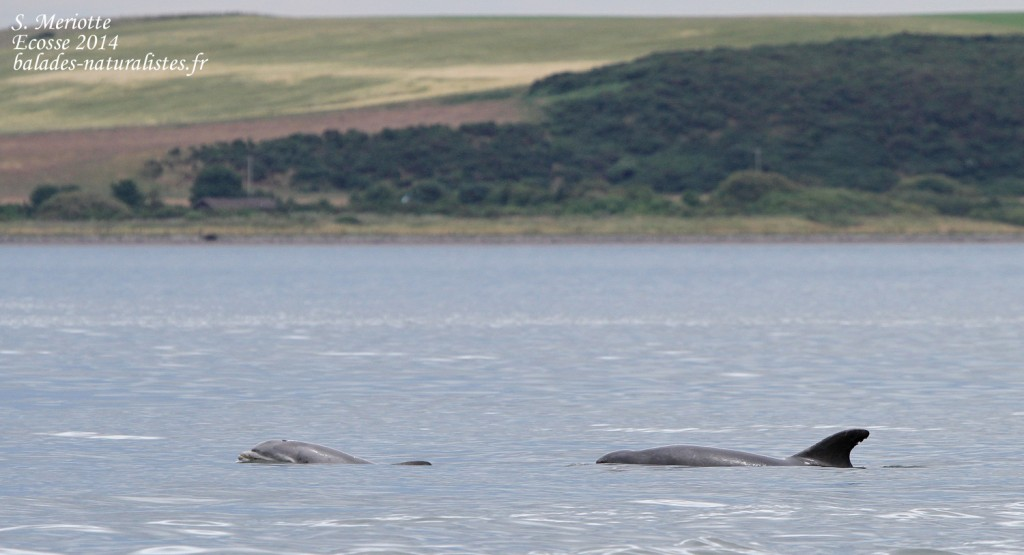 Grand dauphin - Bottlenose dolfin - Moray firth - 14/07/2014