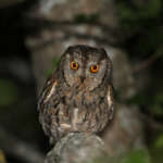 Petit-duc scops – Otus scops – Eurasian scops owl