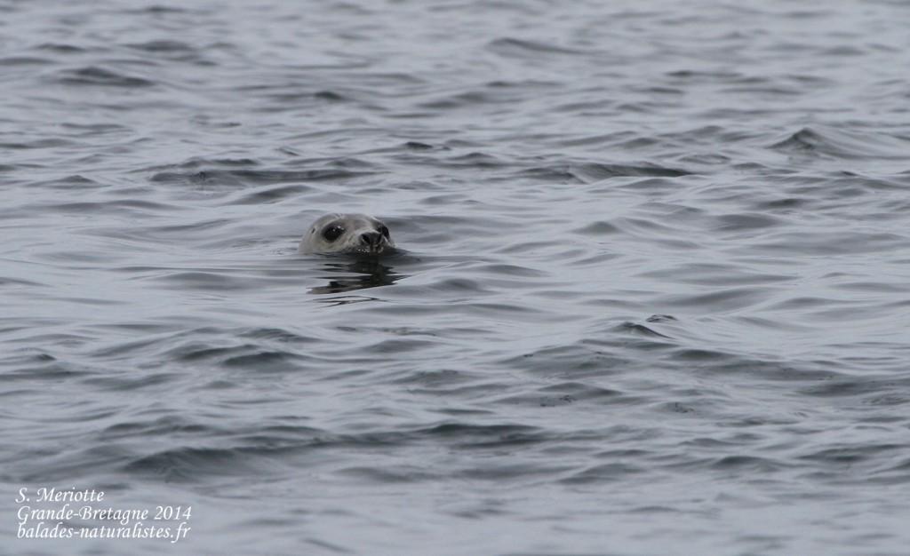 Phoque gris - Coquet Island - 12/07/2014
