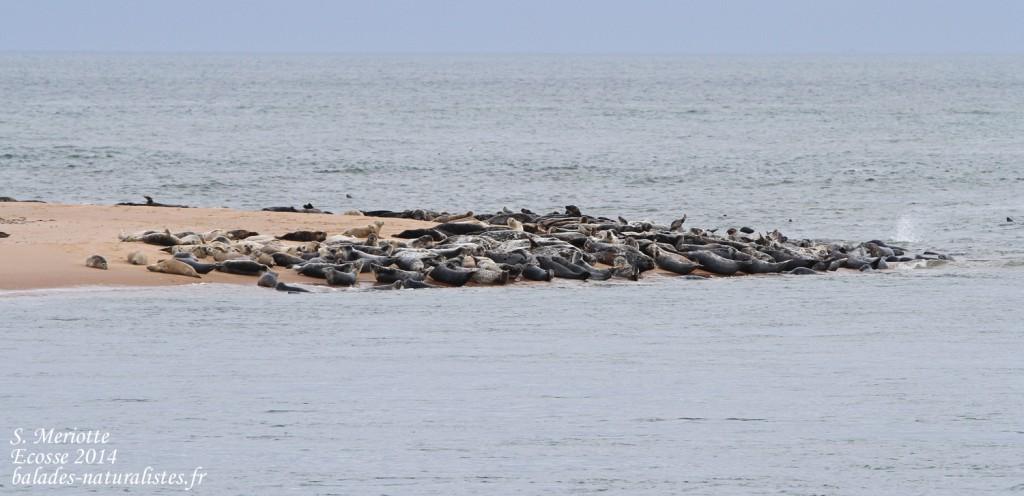 Phoques gris - réserve de Forvie (Newburgh) 13/07/2014
