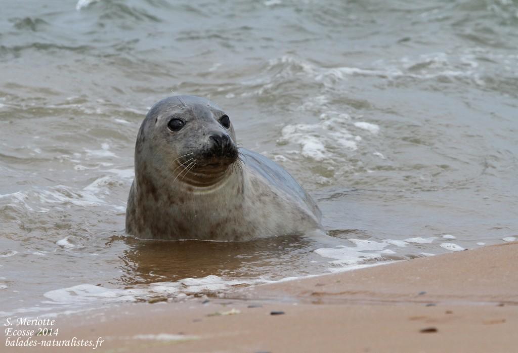 Phoque gris - réserve de Forvie (Newburgh) 13/07/2014
