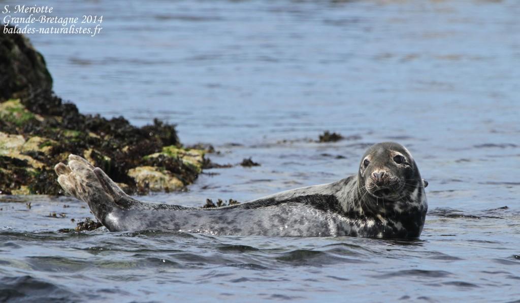 Phoque gris (Grey seal) - Farne Islands - 11/07/2014