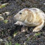Les phoques gris des Farne Islands