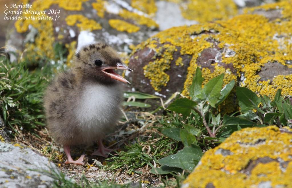 Sterne arctique (Arctic tern) - Inner Farne - 11/07/2014