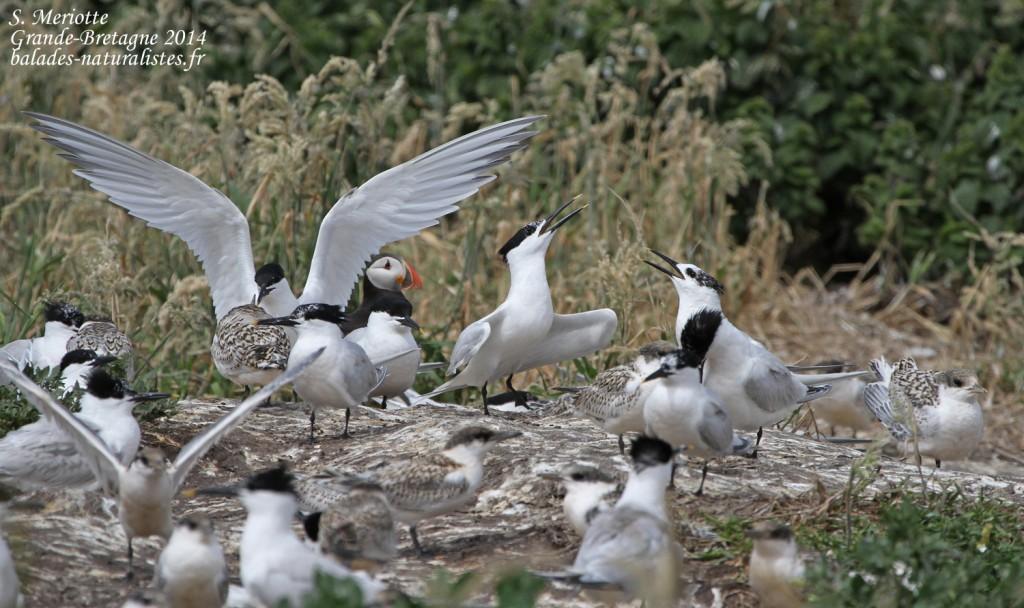 Sterne caugek (Sandwich tern) - Inner Farne - 11/07/2014