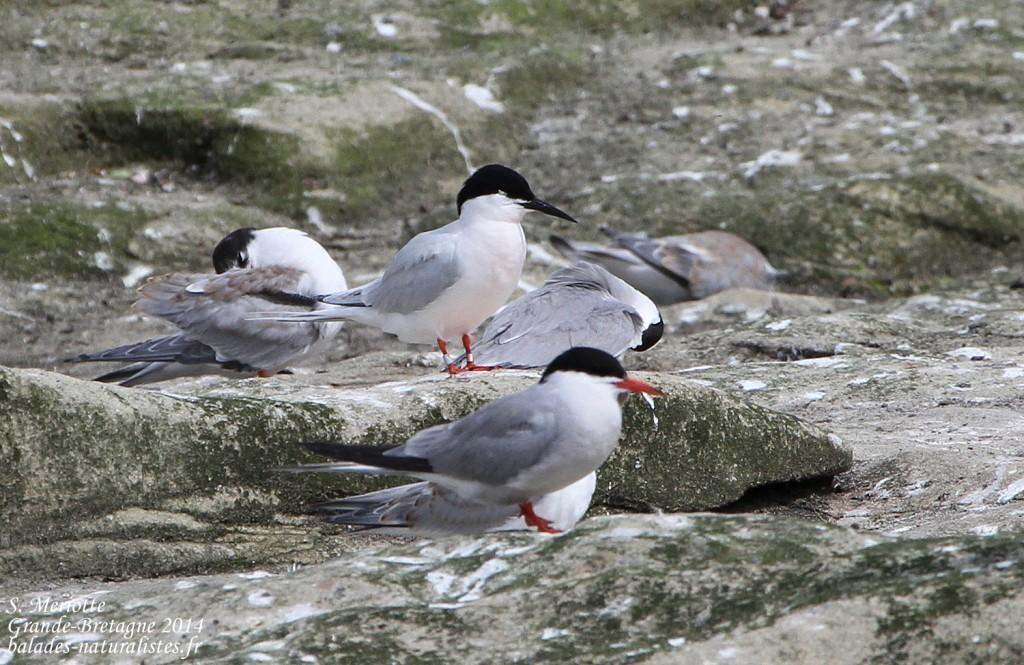 Sterne de Dougall - Coquet Island - 12/07/2014