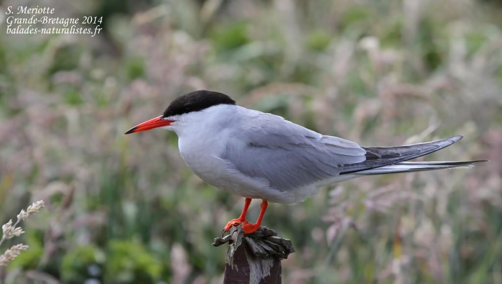 Sterne pierregarin (Common tern) - Inner Farne - 11/07/2014