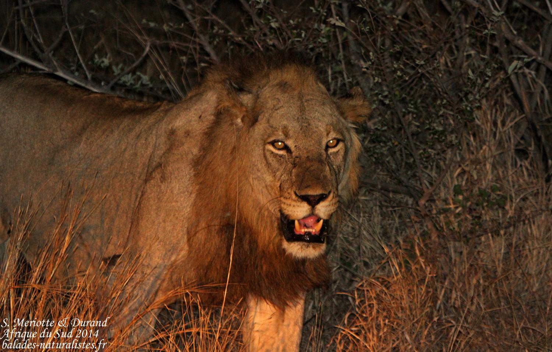 Lion immature (Kruger, Skukuza)