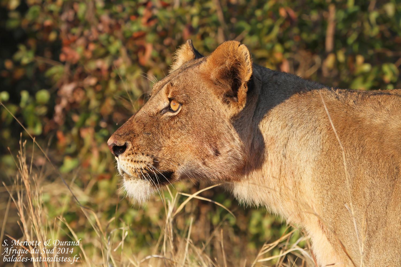 Lions (Kruger)
