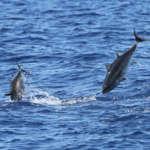 Pêches de thons