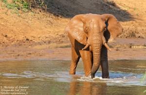 Éléphant (Limpopo, Kruger)