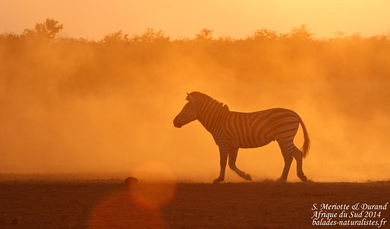 Zèbre des plaines (Kruger)