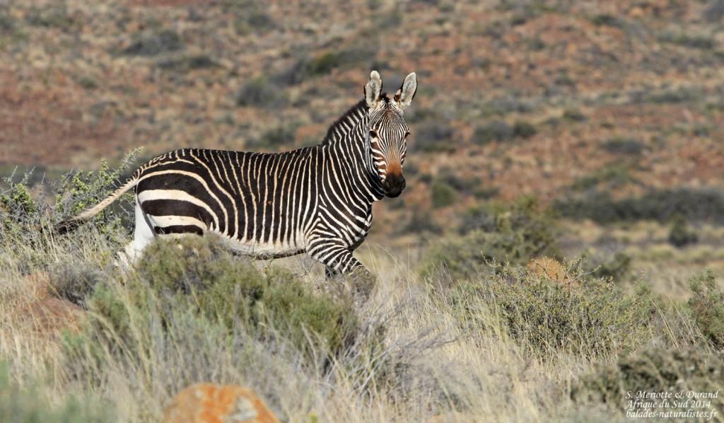 Zèbre de montagne du Cap - Karoo