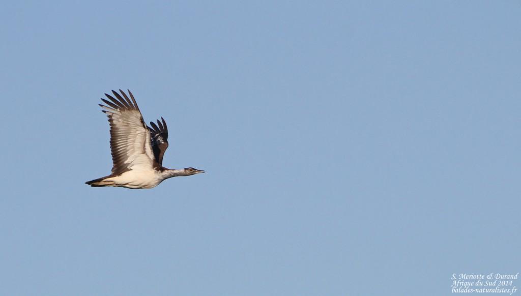Outarde de Denham - Bontebok national park