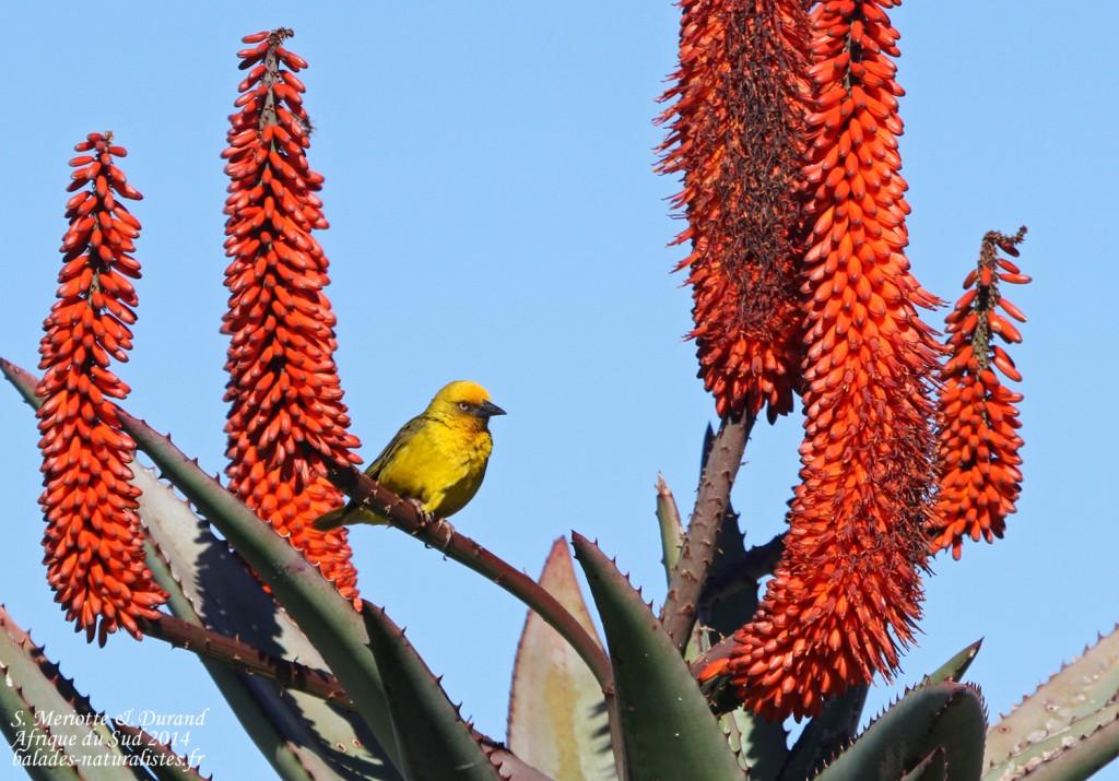 Tisserin du Cap - Bontebok national park