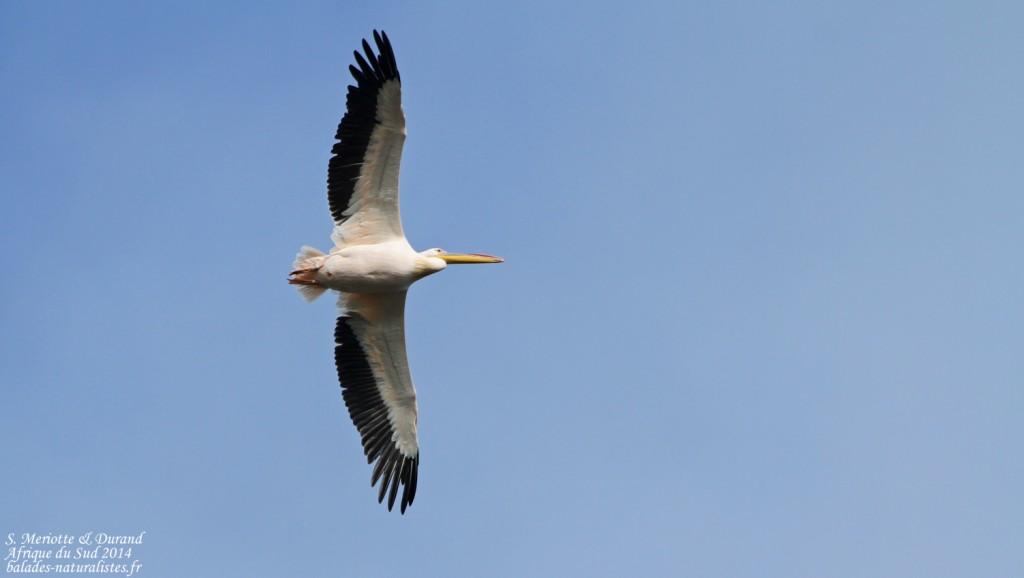 de-hoop (34)pelican-blanc