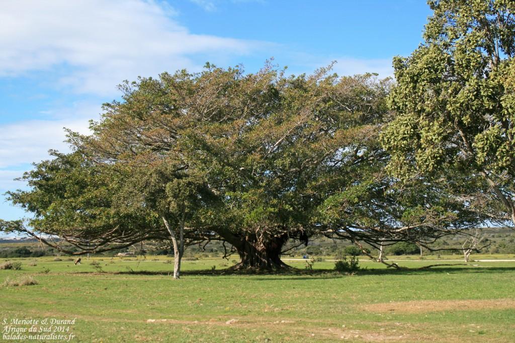 de-hoop-arbre