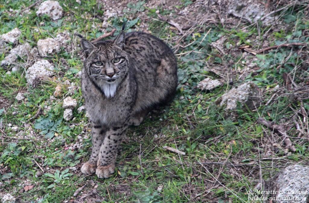 Andalousie : La Sierra d'Andujar, Royaume du Lynx pardelle