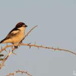 Pie-grièche à tête rousse – Lanius senator – Woodchat Shrike