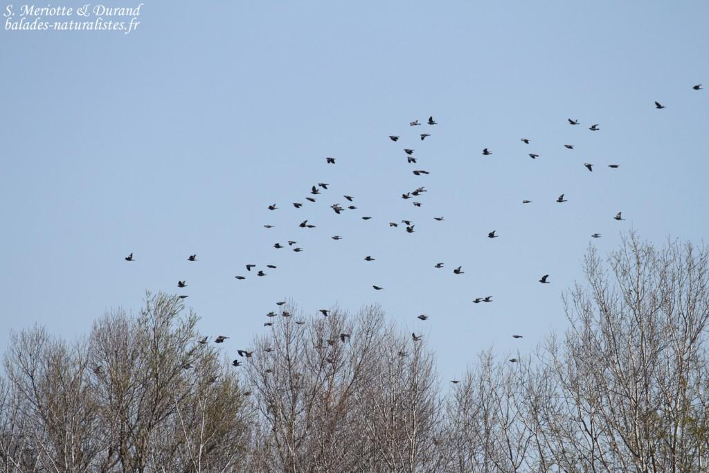Pigeon ramier, gravières du Puy-sainte-Réparade