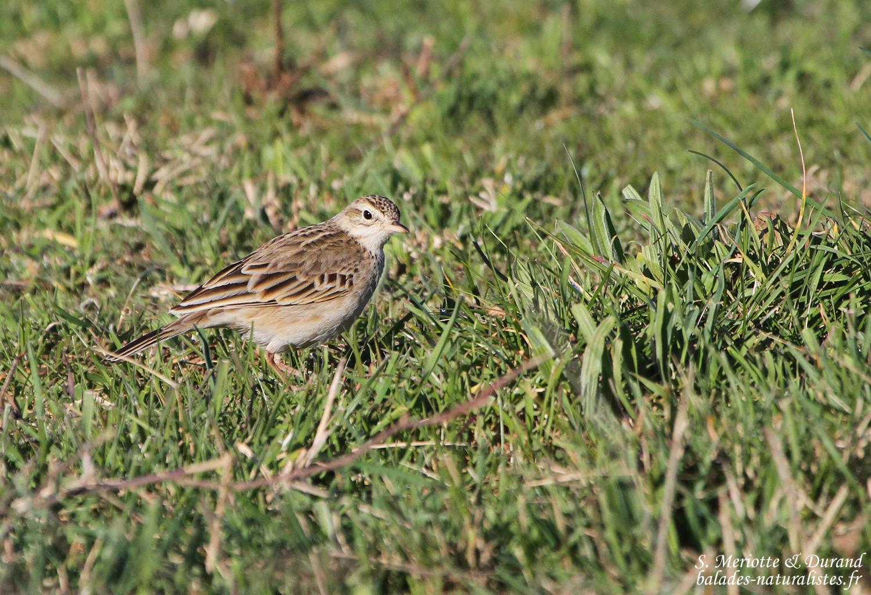 observation ornithologique sarthe