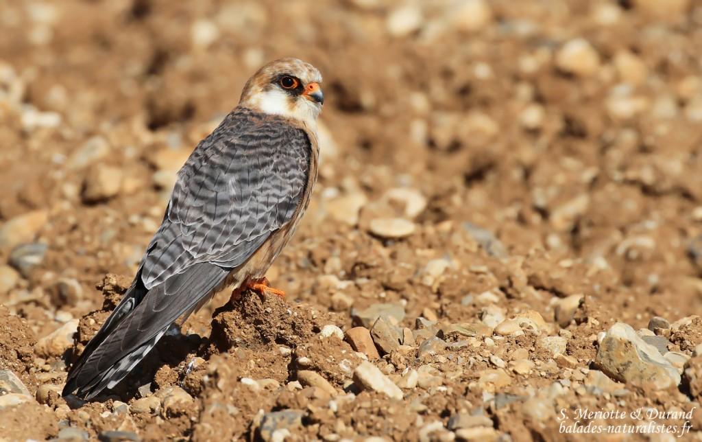 Falconidés
