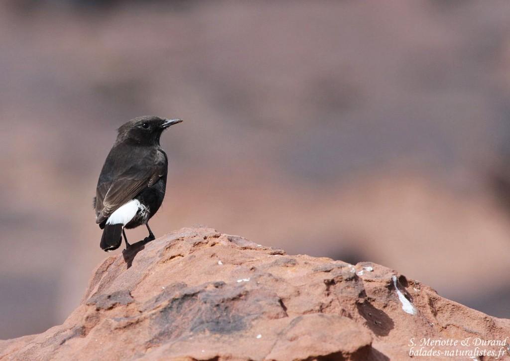 Traquet rieur (Maroc)