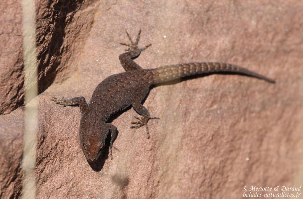 Gecko à paupières épineuses - Quedenfeldtia trachyblepharus, Mont Oukaimeden - Maroc