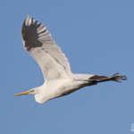 Les oiseaux hivernants sont de retour en Camargue