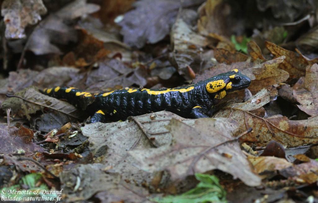 Salamandre tachetée, Zempleni tajvedelmi Körzet