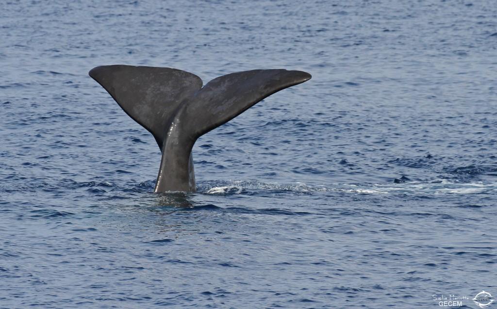 Cachalot au large du Cap Sicié, 27 septembre 2015