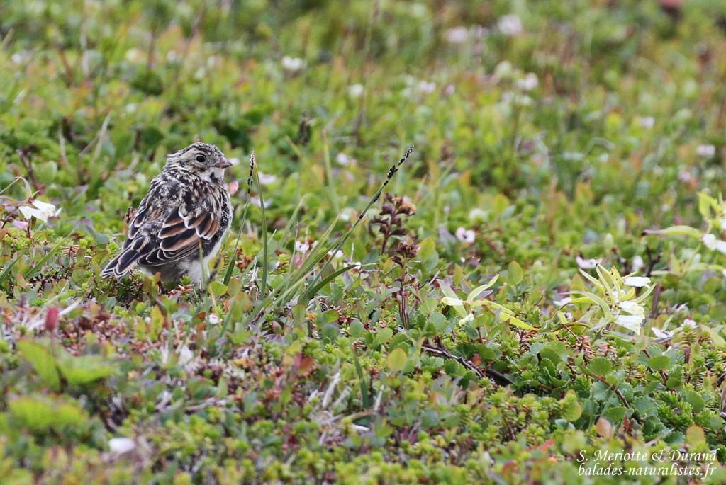 Bruant lapon (Vardo, Norvège)