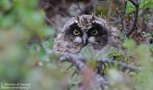 Jeune Hibou des marais (Vallée de Pasvik)