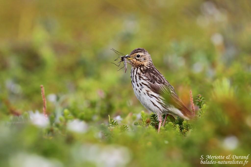 Liste commentée des espèces d'oiseaux observés durant la semaine au Varanger (Juillet 2015)