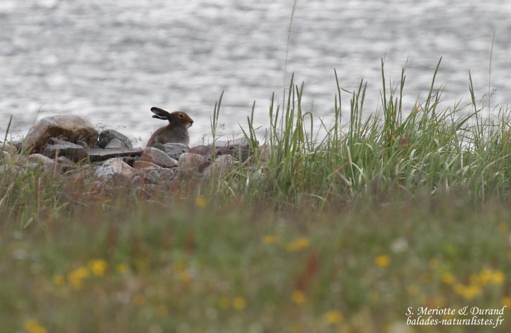 Lièvre variable (Norvège, Vadso)