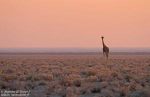 Girafe dans le soleil levant