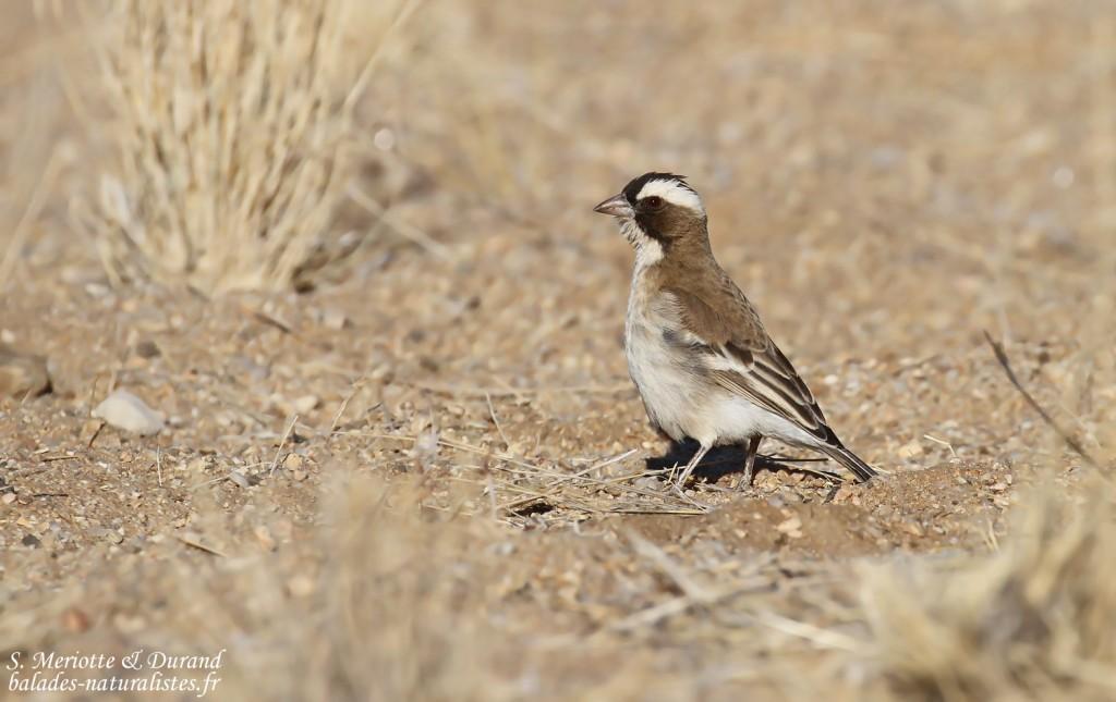 Mahali à sourcils blancs (White-browed Sparrow-Weaver)