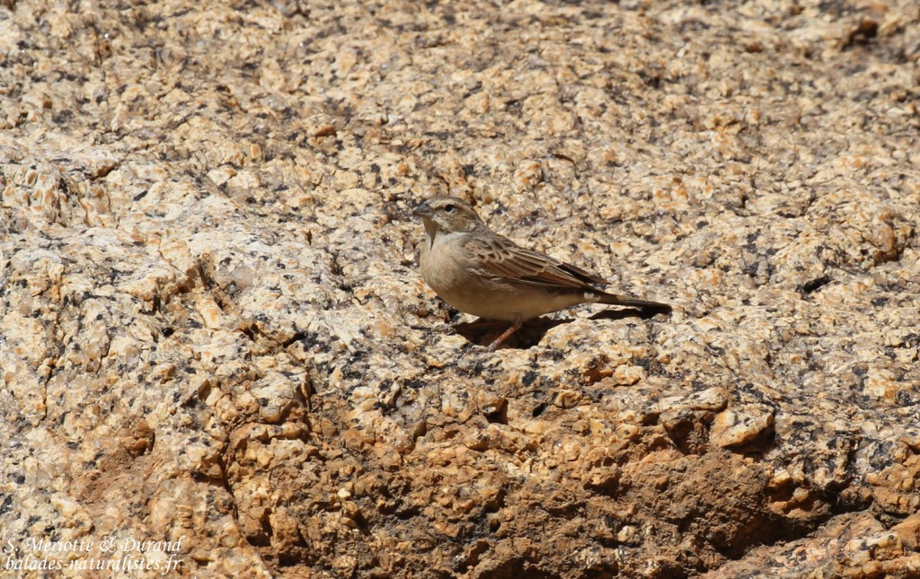 Bruant des rochers (Like-lark Bunting)