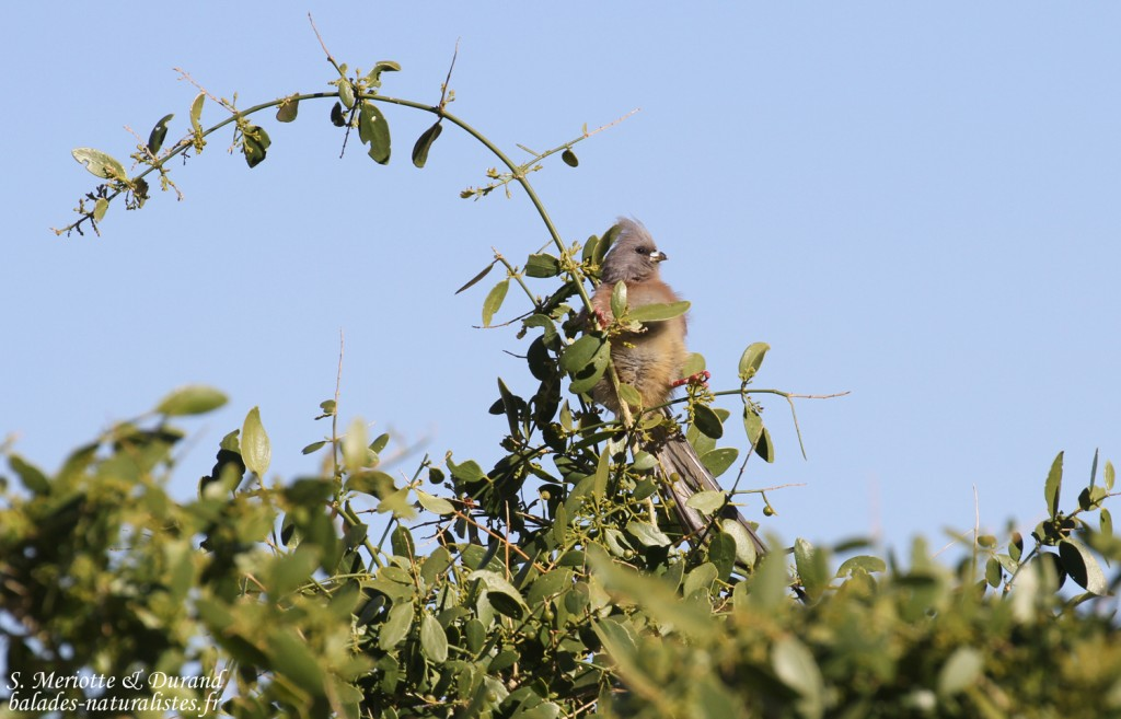 Coliou à dos blanc (White-backed mousebird)