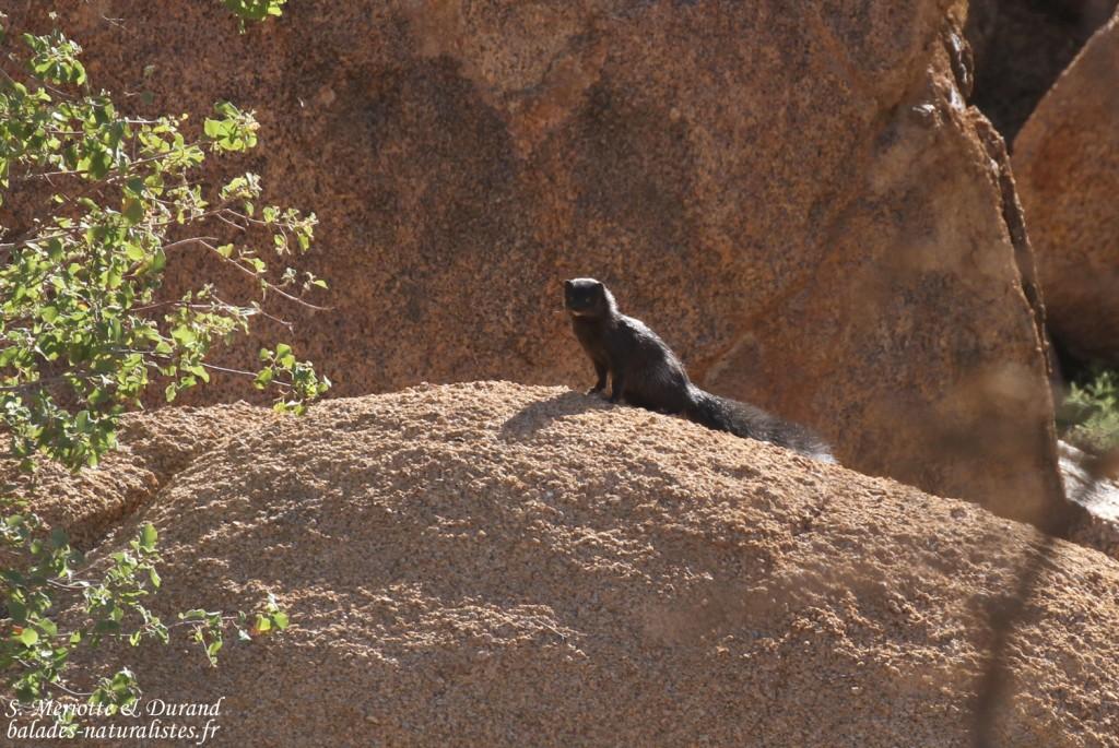 Mangouste grise de Namibie (Spitzekoppe)