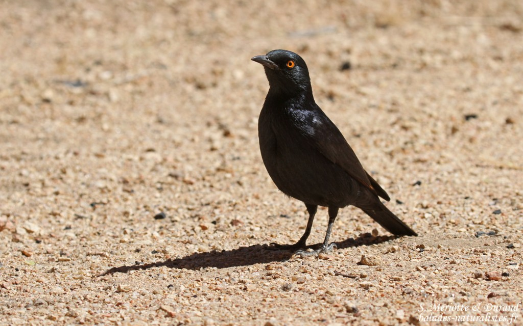 starling-Pale-winged-spitzkoppe (28)balades-naturalistes