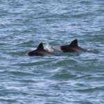 Namibie : Les dauphins de Walvis bay